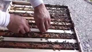 getlinkyoutube.com-Iata concret cum putem sa obtinem trei roiuri dintr-o familie de albine fara sa afectam productia
