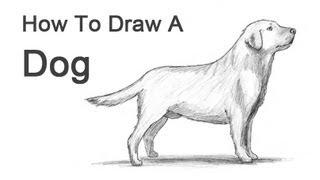 getlinkyoutube.com-How to Draw a Dog (Labrador Retriever)