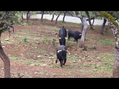 Toros bravos y caballos andaluces en libertad en Ronda