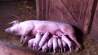 getlinkyoutube.com-Piglets feeding