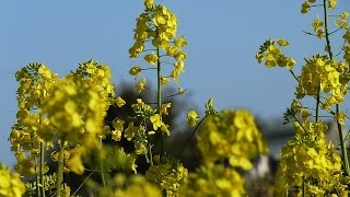 getlinkyoutube.com-Mustard Farming (सरसों की खेती) 2 In Baatein Kheti Ki - On Green TV