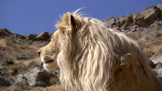 Lufuno the White Lion