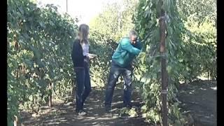getlinkyoutube.com-В Липецке садовод превратил свой участок в настоящий виноградник