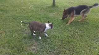 getlinkyoutube.com-mini bullterrier vs german shepherd