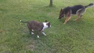 mini bullterrier vs german shepherd