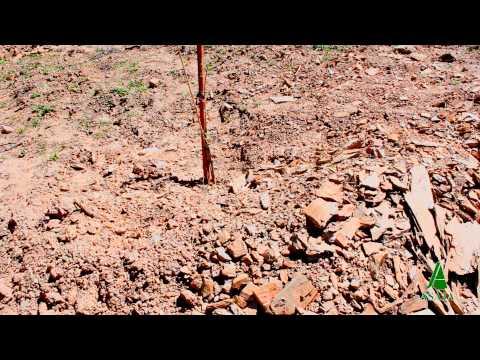 Cultivo del Pistacho en Salamanca