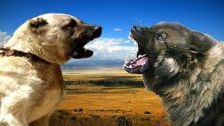 getlinkyoutube.com-Kangal vs Sarplaninac Highlights