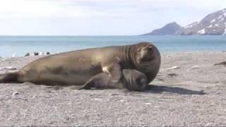 getlinkyoutube.com-Elephant Seals fighting