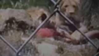 getlinkyoutube.com-attaque impressionnante de lion sur un homme vidéo impressionnante ! AME SENSIBLE, S'ABSTENIR