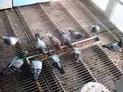 Postagalambok.Gáspár I  A versenyzés tudománya 2. Racing pigeons. Gaspar I. The Science of Racing 2