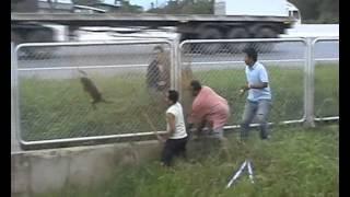 getlinkyoutube.com-จับลิงอาละวาดส่ง