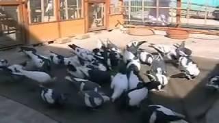 getlinkyoutube.com-PIGEONS OF RASHID ALI SHAH 4
