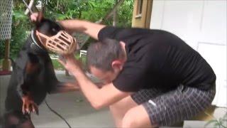 getlinkyoutube.com-Aggressive Doberman Pinscher bites people in the face! DANGER ALERT