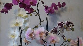 getlinkyoutube.com-орхидея Phalaenopsis: уход после покупки