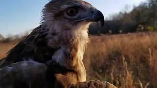 The Falconry Birds for 2017-2018