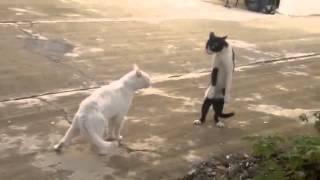 getlinkyoutube.com-مضحك جدا جدا قطط سكرانة تعمل مشاكل