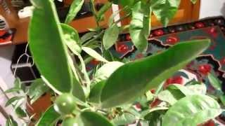 getlinkyoutube.com-Mandarin cu fructe, Nealtoit 25.02.2015