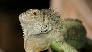 4 Cool Facts about Green Iguanas | Pet Reptiles