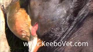 getlinkyoutube.com-Abscess In Cattle, Veterinarian Doctor Helps By Performing Surgery