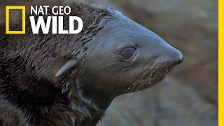 getlinkyoutube.com-A Tough Lesson For a Seal Pup | Land of 10,000 Grizzlies