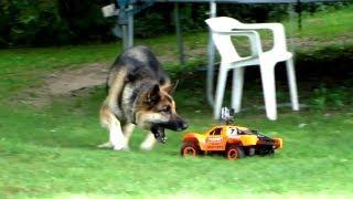 getlinkyoutube.com-Dog VS R/C Car - Fun with the Family!