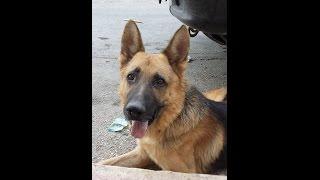 getlinkyoutube.com-طريقه سهله لتدريب الكلاب فقط بالاشاره دون كلام مع جمال العمواسي