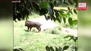 Man attacked by wild boar, dies