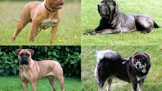 getlinkyoutube.com-انواع كلاب الماستيف MASTIFF DOG  BREEDS !!!!