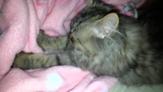 getlinkyoutube.com-cat massage  แมวรถถัง นวดให้น้องฟิล์วตอนหลับ