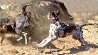 getlinkyoutube.com-Hunting Dogs Tribute