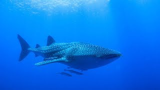 Swimming with the BIGGEST fish in the world!!!  Sailing Vessel Delos Ep. 131 width=