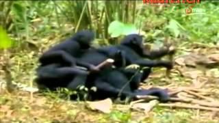 getlinkyoutube.com-Affen auf Zack 04   Die Orgien der Bonobo Affen youtube original