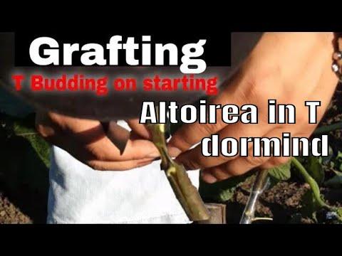 altoirea parului pe gutui in verde- part2 - / grafting pear in the quince / innesto pera su cotogno