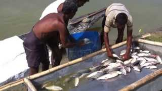 getlinkyoutube.com-Bangladesh Fishery - Video Walkthrough of Fish Harvesting HSA-AL