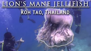Lion's Jellyfish life...