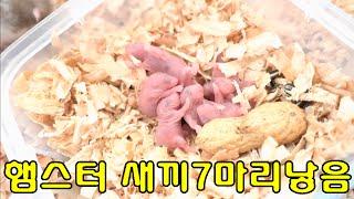 getlinkyoutube.com-골든햄스터 출산 새끼7마리낳음 ㄷㄷㄷHamster Delivery