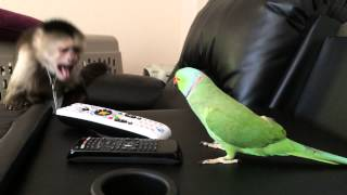 getlinkyoutube.com-Max the Capuchin Monkey and Coco the Talking Indian Ringneck Parakeet (Parrot)