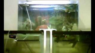 Download video vac pumpless inverted aquarium for Connecting fish tanks