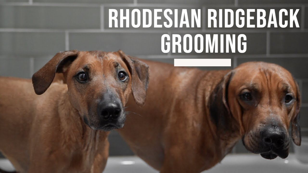 Rhodesian Ridgeback Grooming and Bathing Tips Video Thumbnail