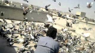 getlinkyoutube.com-zia ustaad and naeem kala 600 pegion laraiya 68 mare 103 gireee karachi.