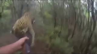 getlinkyoutube.com-Leopard Charges Hunters in this Amazing Hunting Video