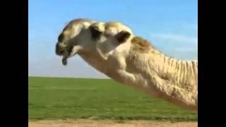 getlinkyoutube.com-الكنق فحل الطهيمي