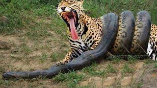 getlinkyoutube.com-Anaconda Gigante VS Onça Pintada - Píton VS Leopardo - LUTA INCRÍVEL