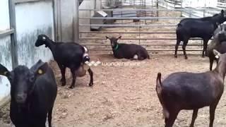 getlinkyoutube.com-Parto de un cabra murciana
