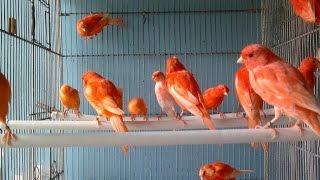 getlinkyoutube.com-تزاوج طيور الكناري من الأول الى الاخر