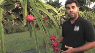 getlinkyoutube.com-Dragon Fruit - Tropical Fruit Growers of South Florida