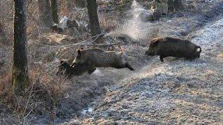 getlinkyoutube.com-Wild Boar Hunting,Wildsau Jagd Extreme