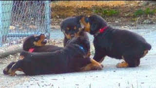 getlinkyoutube.com-Cute Rottweiler Puppies Playing Together