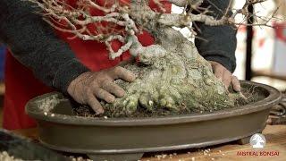 getlinkyoutube.com-8. El trasplante: Cómo trasplantar un bonsái