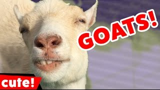 getlinkyoutube.com-Funny Goat Videos Compilation 2016 | Kyoot Animals